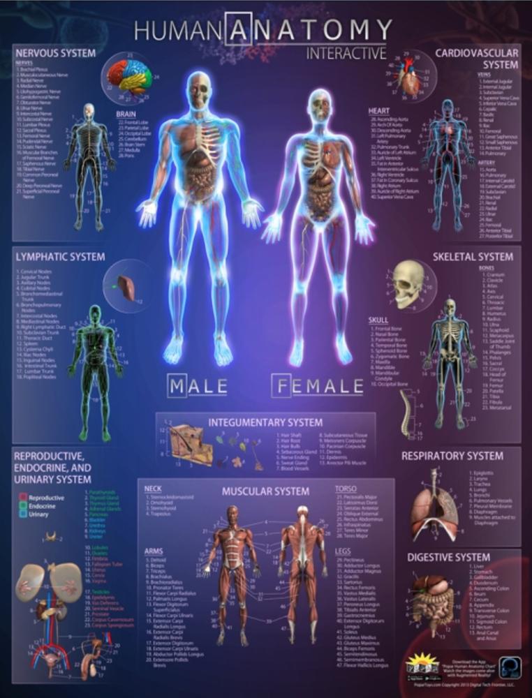 Human Anatomy Interactive Wall Chart Over The Rainbow